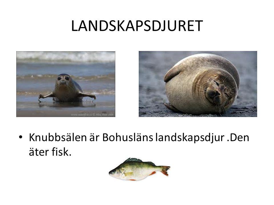 LANDSKAPSDJURET Knubbsälen är Bohusläns landskapsdjur.Den äter fisk.