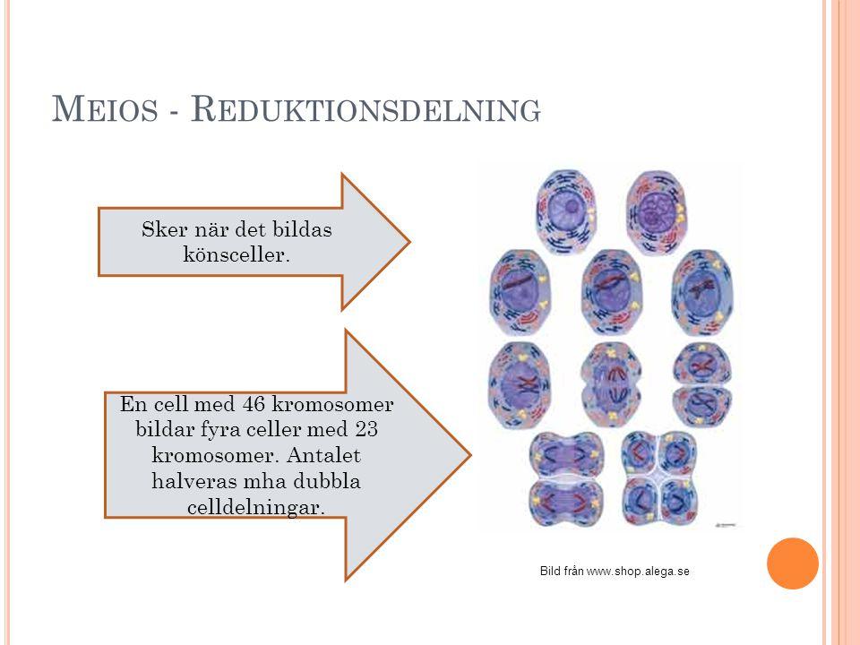 M ITOS – V ANLIG CELLDELNING Bild från: www.se.vwr.com En cell med 46 kromosomer bildar två celler med 46 kromosomer var. Sker när man växer eller när