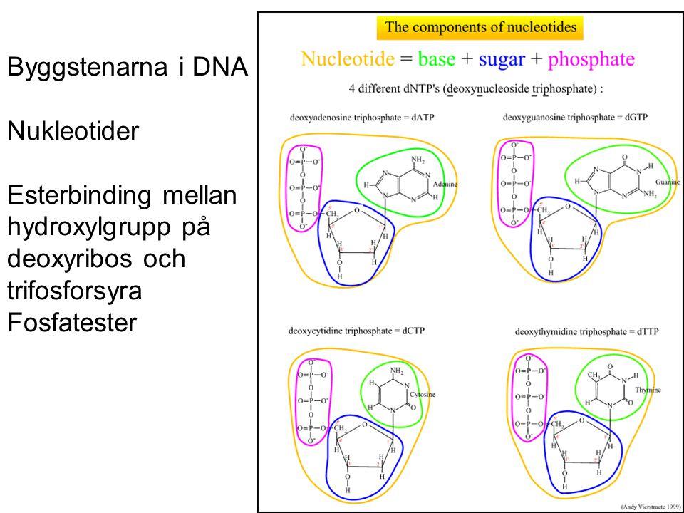 Byggstenarna i DNA Nukleotider Esterbinding mellan hydroxylgrupp på deoxyribos och trifosforsyra Fosfatester