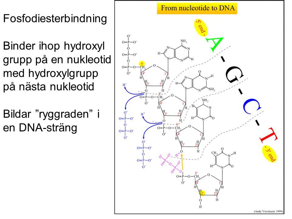 """Fosfodiesterbindning Binder ihop hydroxyl grupp på en nukleotid med hydroxylgrupp på nästa nukleotid Bildar """"ryggraden"""" i en DNA-sträng"""