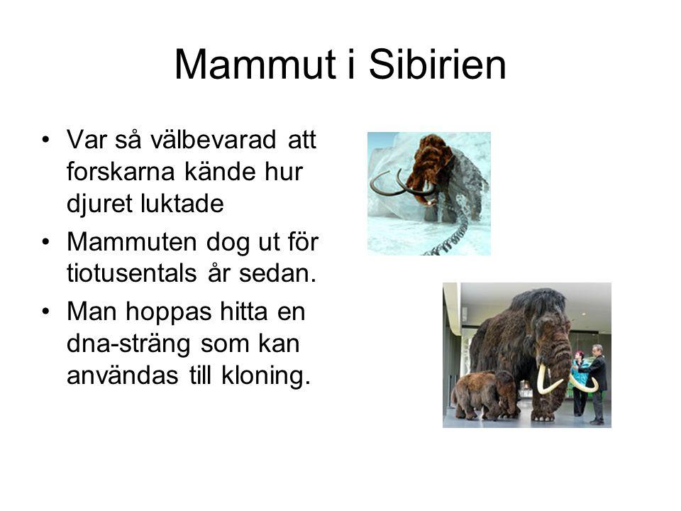 Mammut i Sibirien Var så välbevarad att forskarna kände hur djuret luktade Mammuten dog ut för tiotusentals år sedan.
