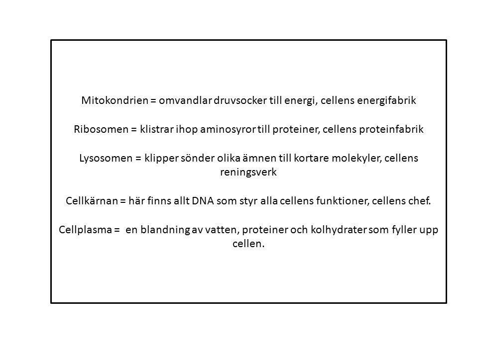 Mitokondrien = omvandlar druvsocker till energi, cellens energifabrik Ribosomen = klistrar ihop aminosyror till proteiner, cellens proteinfabrik Lysos