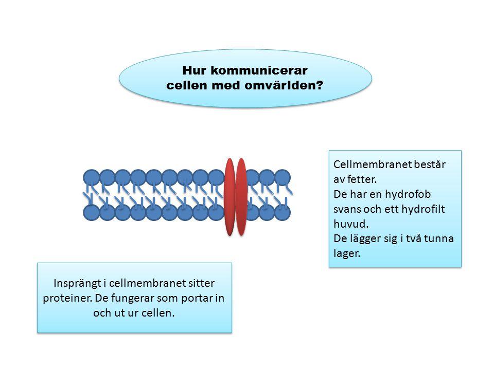 Hur kommunicerar cellen med omvärlden? Cellmembranet består av fetter. De har en hydrofob svans och ett hydrofilt huvud. De lägger sig i två tunna lag