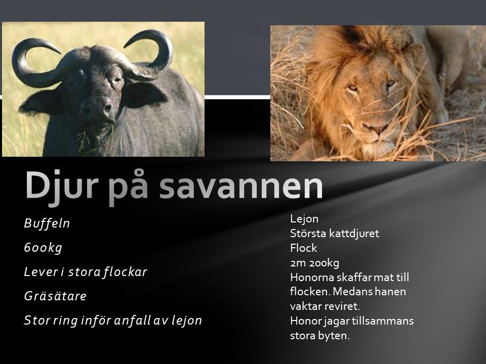Buffeln 600kg Lever i stora flockar Gräsätare Stor ring inför anfall av lejon Lejon Största kattdjuret Flock 2m 200kg Honorna skaffar mat till flocken