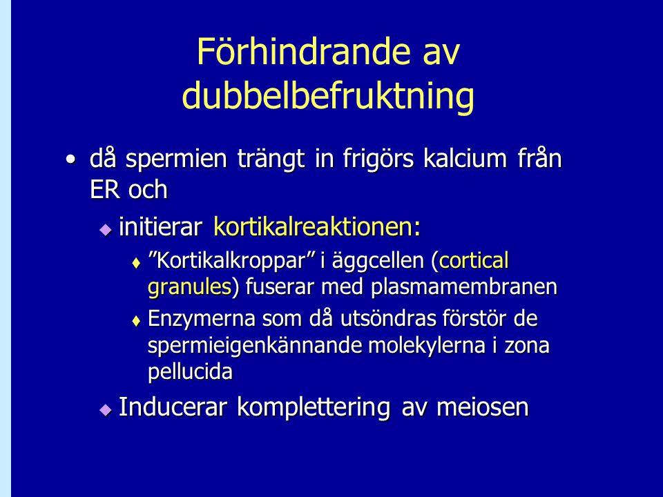 Förhindrande av dubbelbefruktning då spermien trängt in frigörs kalcium från ER ochdå spermien trängt in frigörs kalcium från ER och  initierar korti