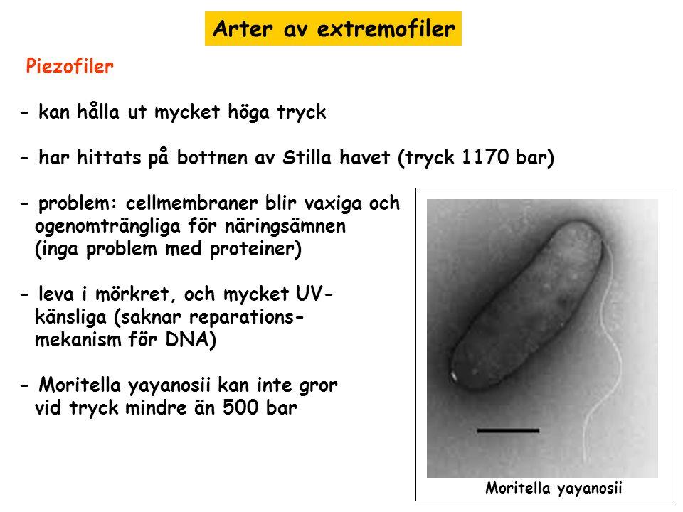Arter av extremofiler Piezofiler - kan hålla ut mycket höga tryck - har hittats på bottnen av Stilla havet (tryck 1170 bar) - problem: cellmembraner b