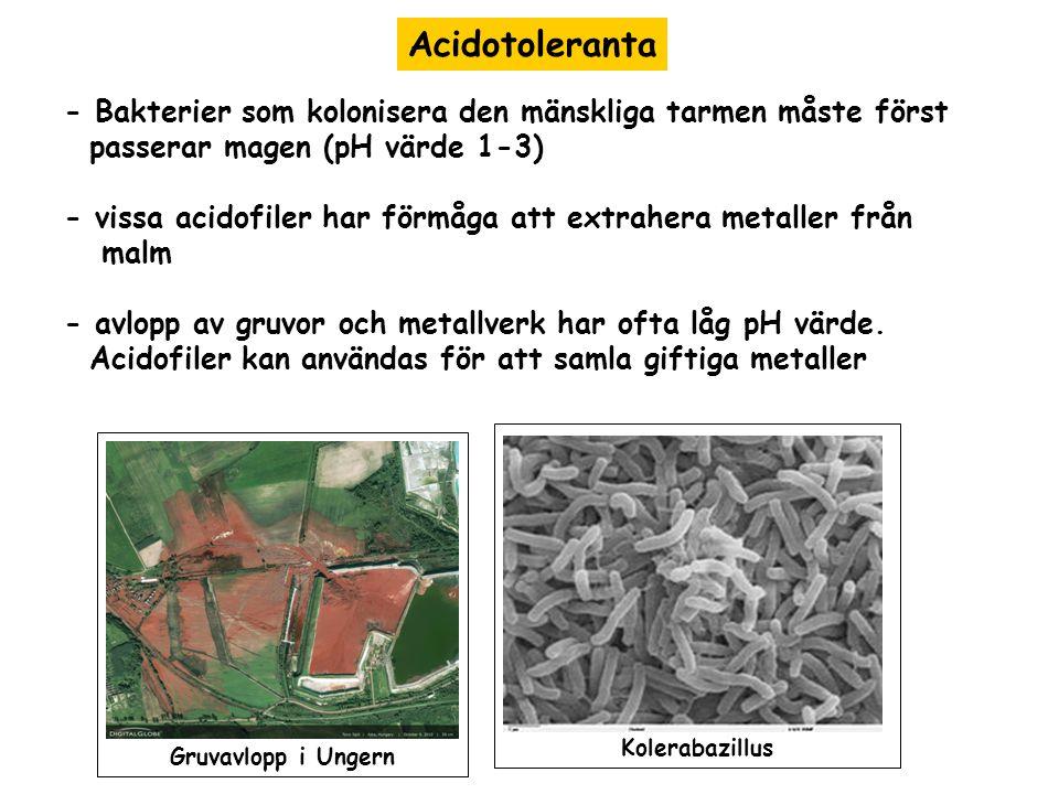 Acidotoleranta - Bakterier som kolonisera den mänskliga tarmen måste först passerar magen (pH värde 1-3) - vissa acidofiler har förmåga att extrahera