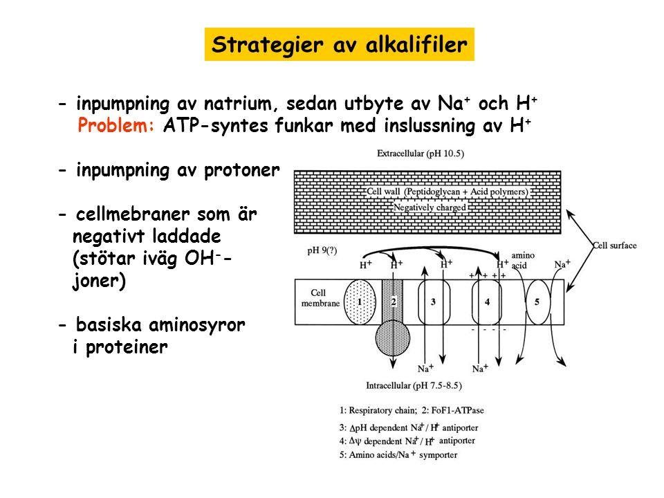 Strategier av alkalifiler - inpumpning av natrium, sedan utbyte av Na + och H + Problem: ATP-syntes funkar med inslussning av H + - inpumpning av prot