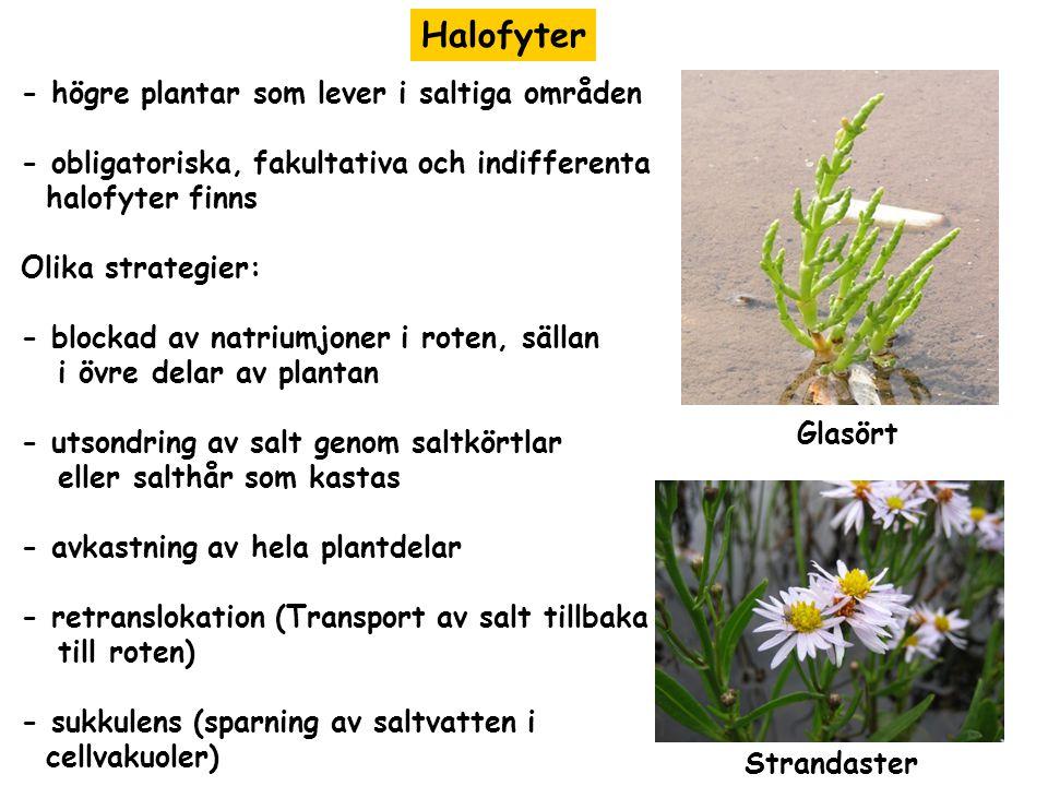 Halofyter - högre plantar som lever i saltiga områden - obligatoriska, fakultativa och indifferenta halofyter finns Olika strategier: - blockad av nat