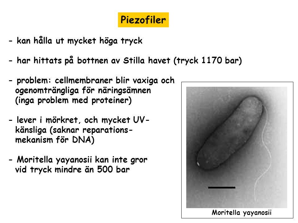 Piezofiler - kan hålla ut mycket höga tryck - har hittats på bottnen av Stilla havet (tryck 1170 bar) - problem: cellmembraner blir vaxiga och ogenomt