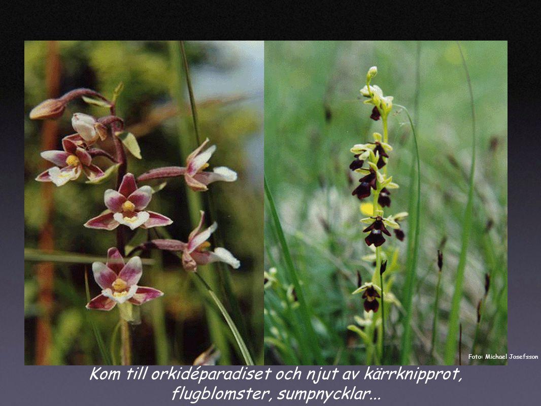 Kom till orkidéparadiset och njut av kärrknipprot, flugblomster, sumpnycklar...