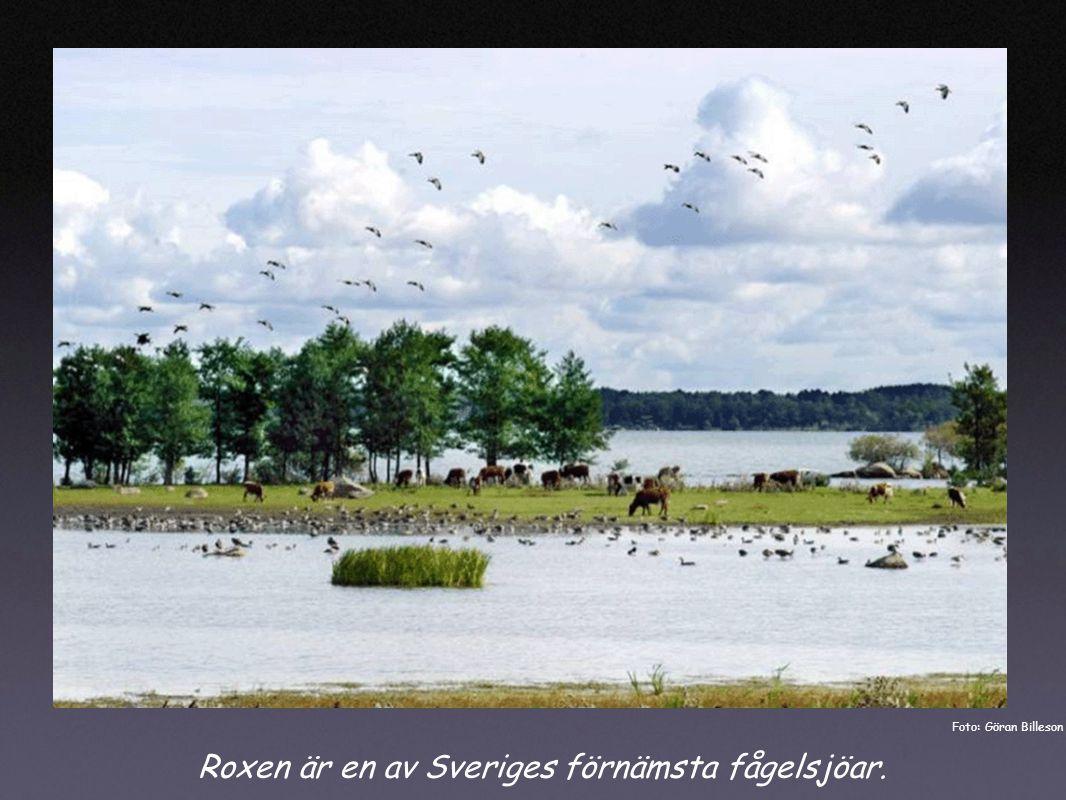 Roxen är en av Sveriges förnämsta fågelsjöar. Foto: Göran Billeson