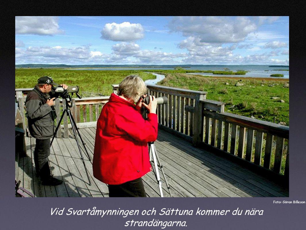 Vid Svartåmynningen och Sättuna kommer du nära strandängarna. Foto: Göran Billeson