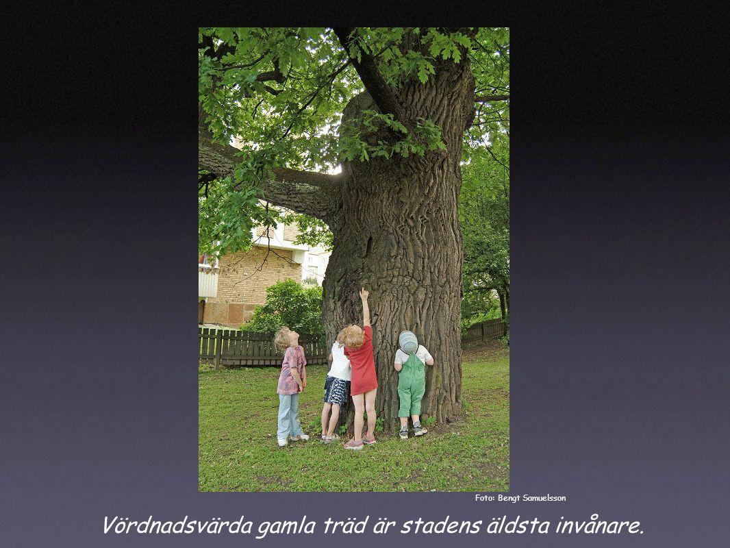 Vördnadsvärda gamla träd är stadens äldsta invånare. Foto: Bengt Samuelsson