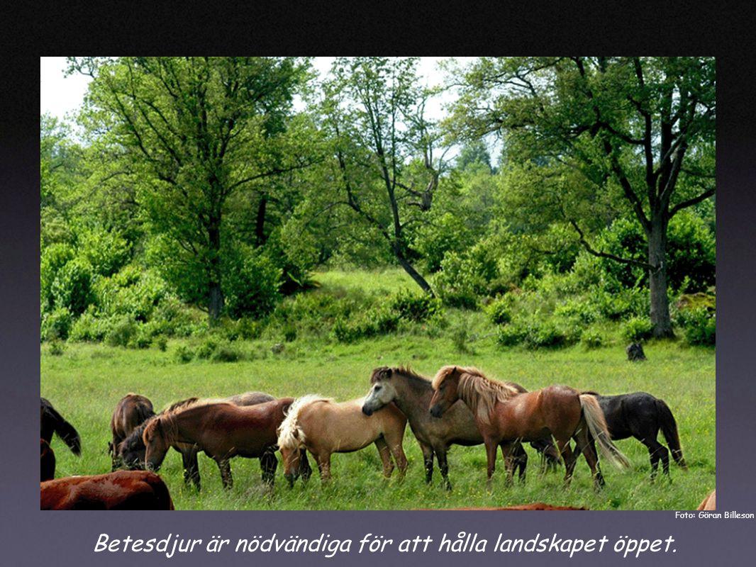 Betesdjur är nödvändiga för att hålla landskapet öppet. Foto: Göran Billeson