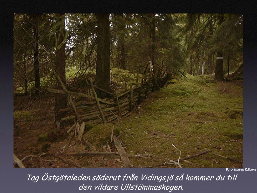 Tag Östgötaleden söderut från Vidingsjö så kommer du till den vildare Ullstämmaskogen.