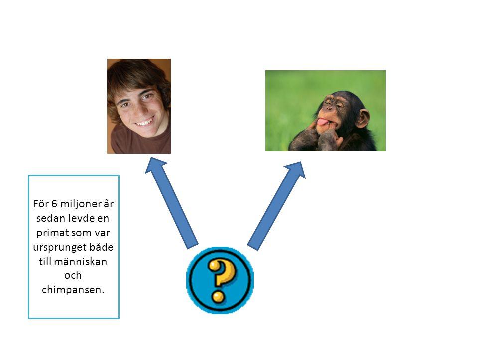 För 6 miljoner år sedan levde en primat som var ursprunget både till människan och chimpansen.
