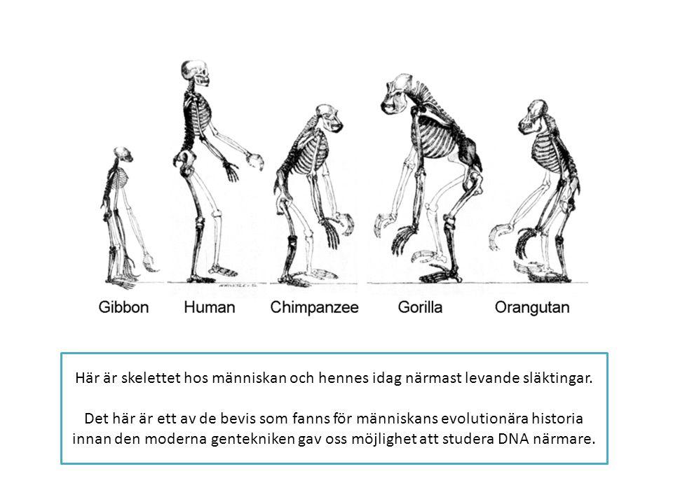 Här är skelettet hos människan och hennes idag närmast levande släktingar.