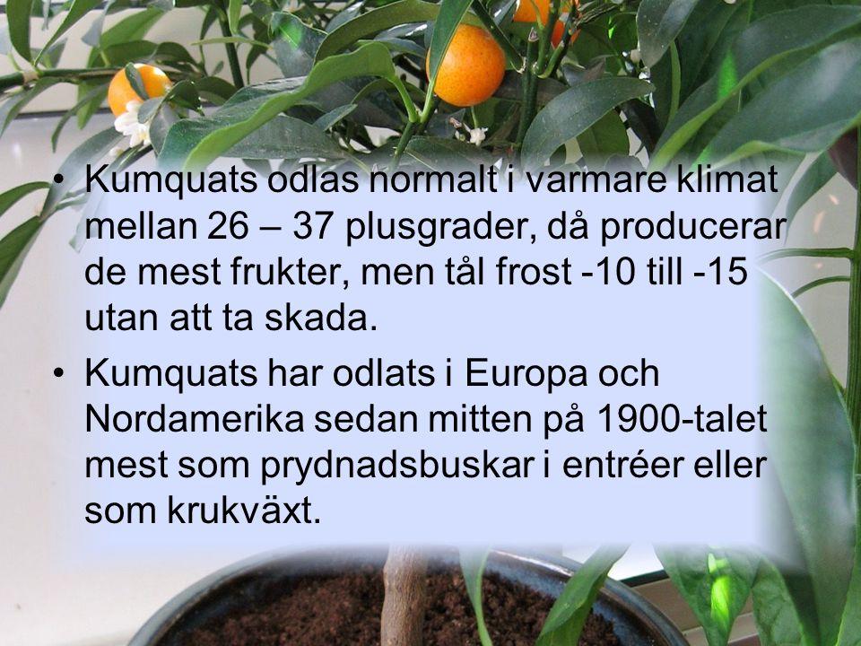 Kumquats odlas normalt i varmare klimat mellan 26 – 37 plusgrader, då producerar de mest frukter, men tål frost -10 till -15 utan att ta skada.