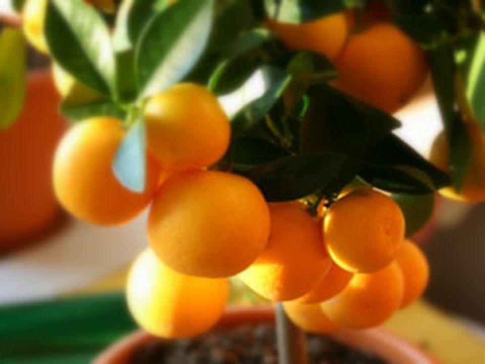 Frukten är ovalt avlång eller rund ca.1,6 till 4 cm.