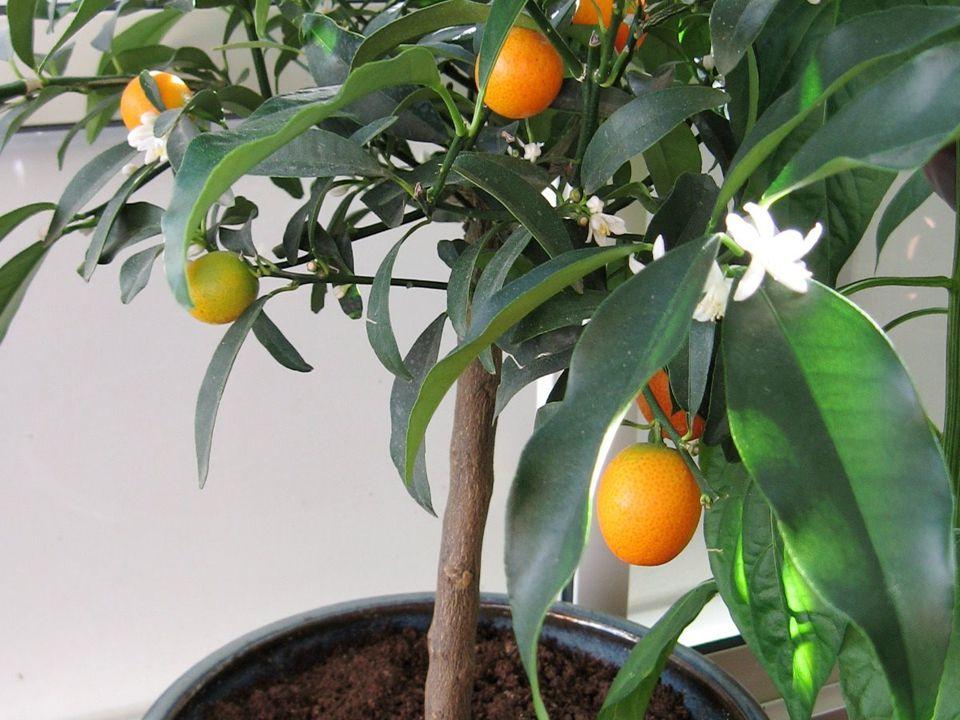 Kumquat är ett långsamt växande, buskigt, kompakt, ca.