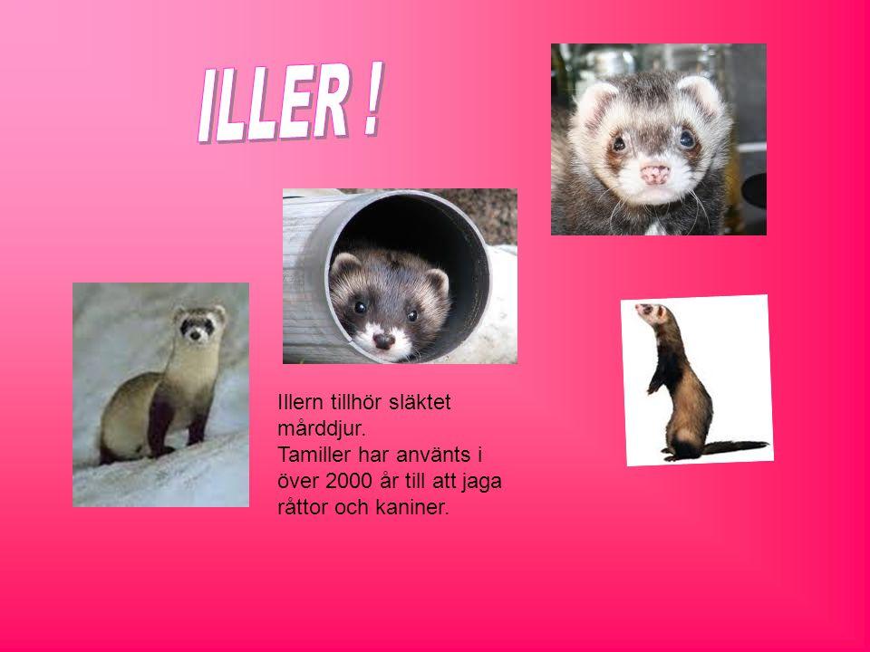 Illern tillhör släktet mårddjur. Tamiller har använts i över 2000 år till att jaga råttor och kaniner.