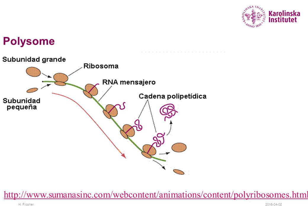 2015-04-02H. Ficsher Polysome http://www.sumanasinc.com/webcontent/animations/content/polyribosomes.html