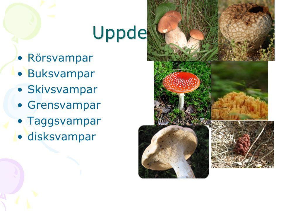 Uppdelning Rörsvampar Buksvampar Skivsvampar Grensvampar Taggsvampar disksvampar