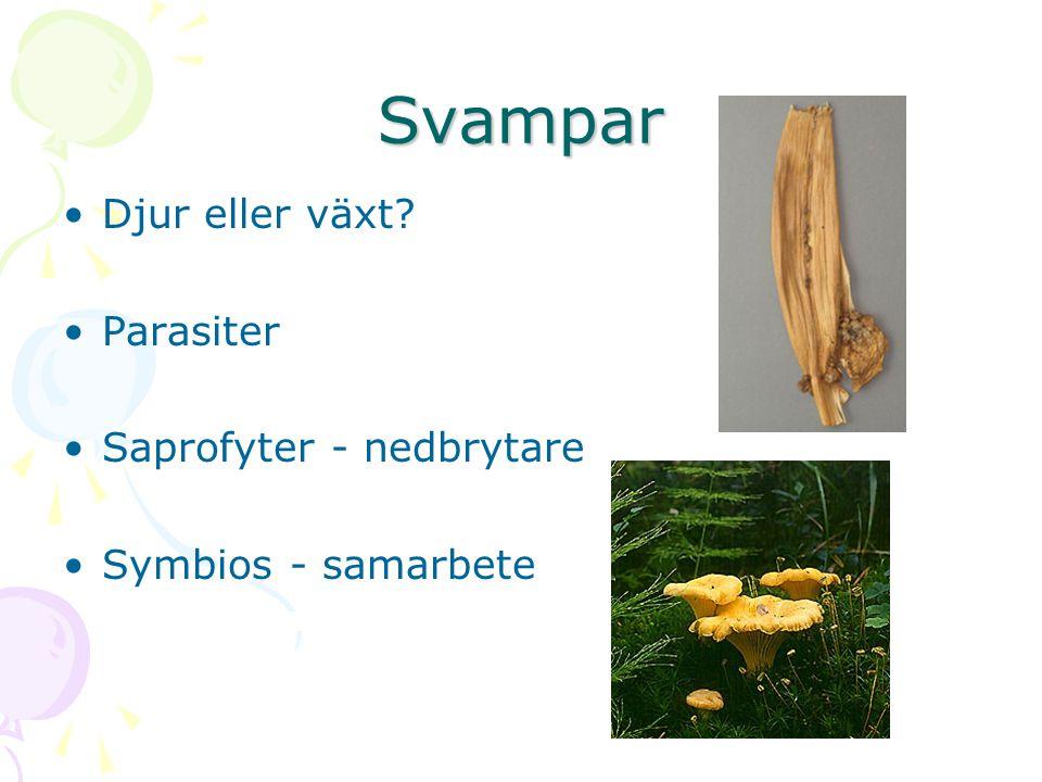 Svampar Djur eller växt? Parasiter Saprofyter - nedbrytare Symbios - samarbete
