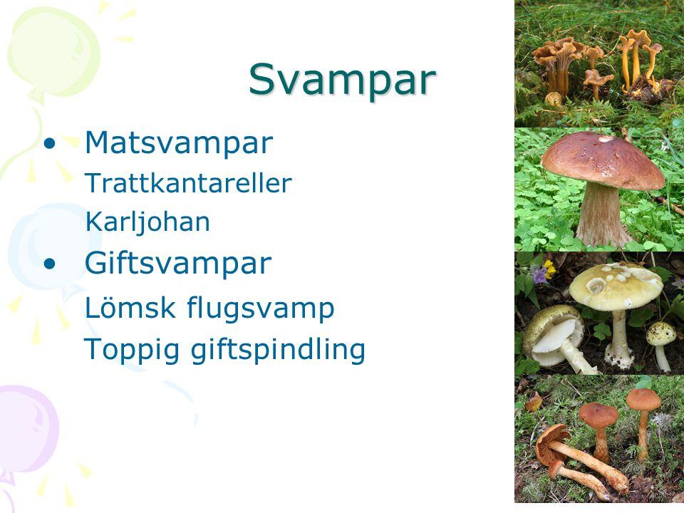 Svampar Matsvampar Trattkantareller Karljohan Giftsvampar Lömsk flugsvamp Toppig giftspindling