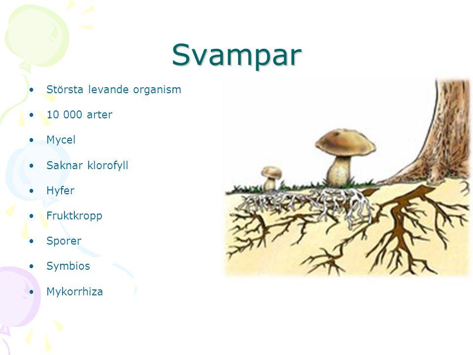 Svampar Största levande organism 10 000 arter Mycel Saknar klorofyll Hyfer Fruktkropp Sporer Symbios Mykorrhiza