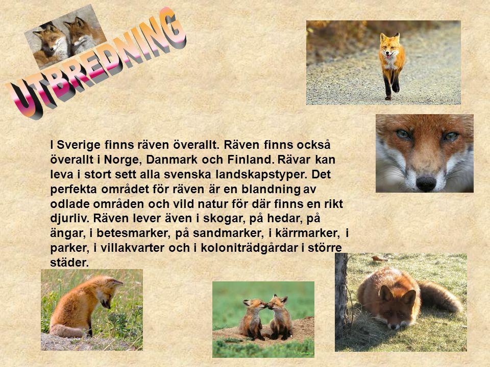 I Sverige finns räven överallt. Räven finns också överallt i Norge, Danmark och Finland. Rävar kan leva i stort sett alla svenska landskapstyper. Det