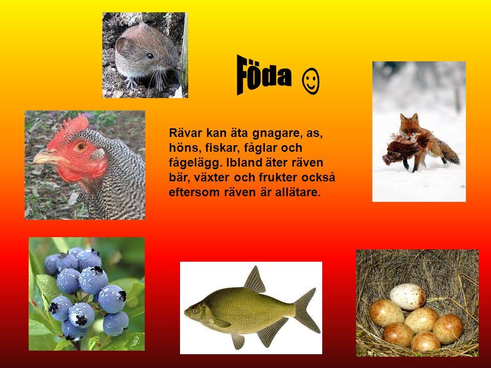 Rävar kan äta gnagare, as, höns, fiskar, fåglar och fågelägg. Ibland äter räven bär, växter och frukter också eftersom räven är allätare.