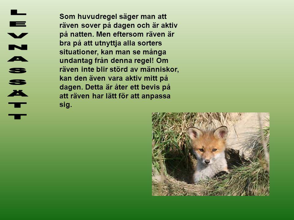 Som huvudregel säger man att räven sover på dagen och är aktiv på natten. Men eftersom räven är bra på att utnyttja alla sorters situationer, kan man