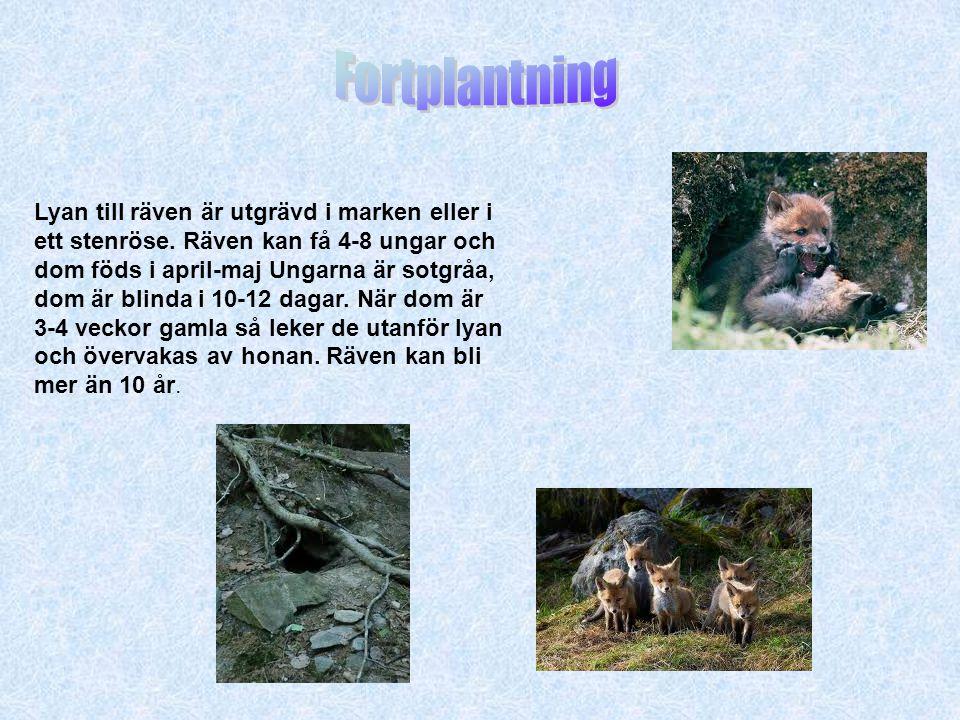 Lyan till räven är utgrävd i marken eller i ett stenröse. Räven kan få 4-8 ungar och dom föds i april-maj Ungarna är sotgråa, dom är blinda i 10-12 da