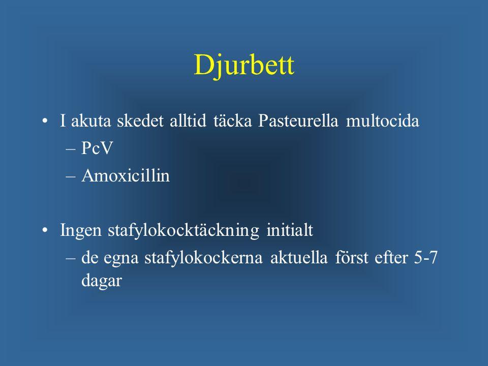 Djurbett I akuta skedet alltid täcka Pasteurella multocida – –PcV – –Amoxicillin Ingen stafylokocktäckning initialt – –de egna stafylokockerna aktuella först efter 5-7 dagar