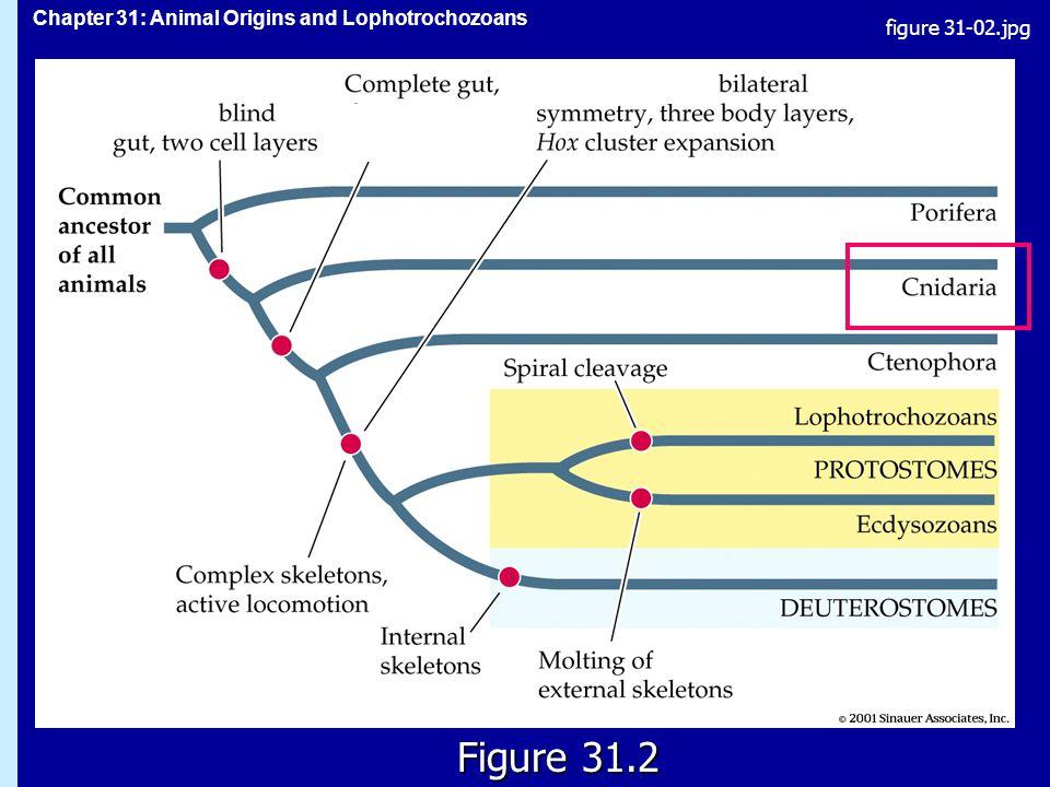 Chapter 31: Animal Origins and Lophotrochozoans Figure 31.2 figure 31-02.jpg