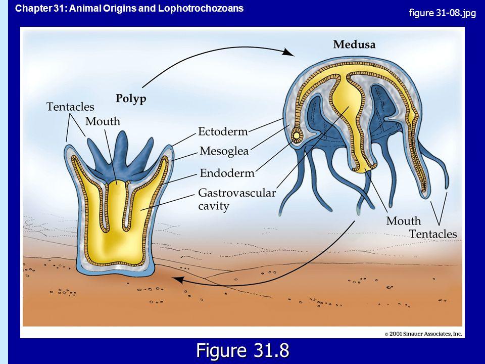 Chapter 31: Animal Origins and Lophotrochozoans Figure 31.8 figure 31-08.jpg