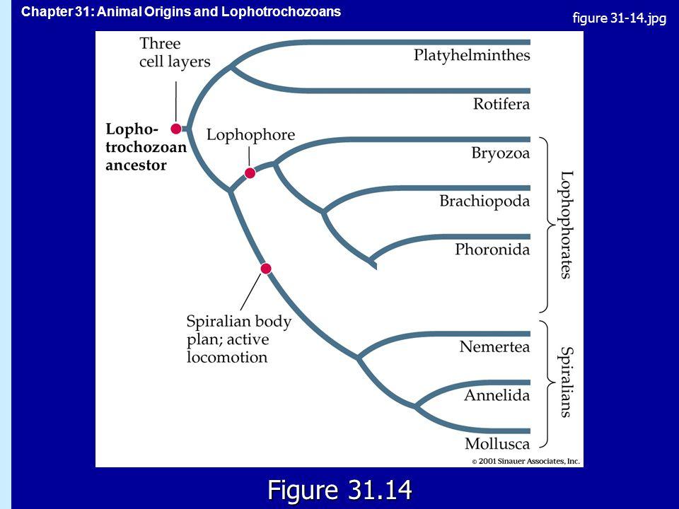 Chapter 31: Animal Origins and Lophotrochozoans Figure 31.14 figure 31-14.jpg