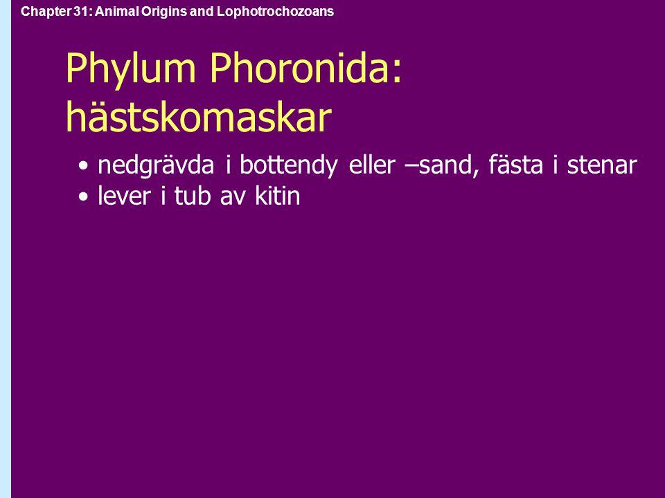Chapter 31: Animal Origins and Lophotrochozoans Phylum Phoronida: hästskomaskar nedgrävda i bottendy eller –sand, fästa i stenar lever i tub av kitin