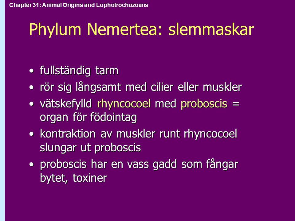 Chapter 31: Animal Origins and Lophotrochozoans Phylum Nemertea: slemmaskar fullständig tarmfullständig tarm rör sig långsamt med cilier eller musklerrör sig långsamt med cilier eller muskler vätskefylld rhyncocoel med proboscis = organ för födointagvätskefylld rhyncocoel med proboscis = organ för födointag kontraktion av muskler runt rhyncocoel slungar ut probosciskontraktion av muskler runt rhyncocoel slungar ut proboscis proboscis har en vass gadd som fångar bytet, toxinerproboscis har en vass gadd som fångar bytet, toxiner