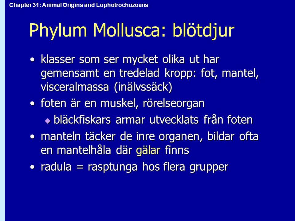 Chapter 31: Animal Origins and Lophotrochozoans Phylum Mollusca: blötdjur klasser som ser mycket olika ut har gemensamt en tredelad kropp: fot, mantel, visceralmassa (inälvssäck)klasser som ser mycket olika ut har gemensamt en tredelad kropp: fot, mantel, visceralmassa (inälvssäck) foten är en muskel, rörelseorganfoten är en muskel, rörelseorgan  bläckfiskars armar utvecklats från foten manteln täcker de inre organen, bildar ofta en mantelhåla där gälar finnsmanteln täcker de inre organen, bildar ofta en mantelhåla där gälar finns radula = rasptunga hos flera grupperradula = rasptunga hos flera grupper