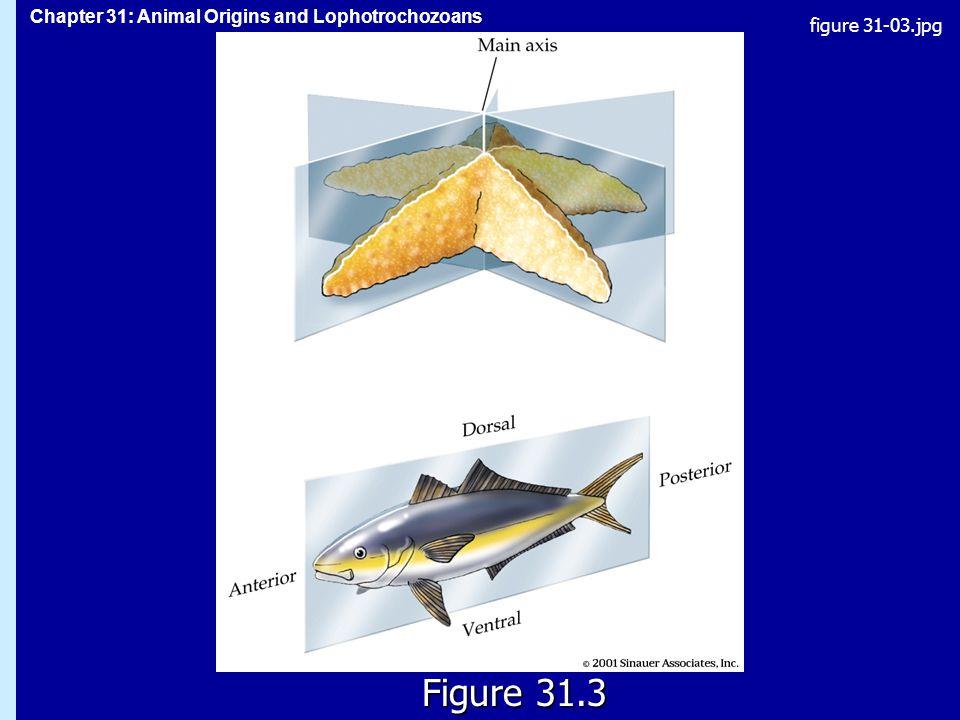 Chapter 31: Animal Origins and Lophotrochozoans Figure 31.3 figure 31-03.jpg