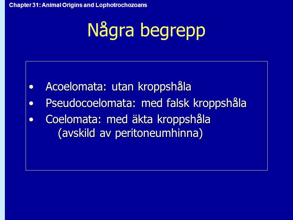 Chapter 31: Animal Origins and Lophotrochozoans Några begrepp Acoelomata: utan kroppshålaAcoelomata: utan kroppshåla Pseudocoelomata: med falsk kroppshålaPseudocoelomata: med falsk kroppshåla Coelomata: med äkta kroppshåla (avskild av peritoneumhinna)Coelomata: med äkta kroppshåla (avskild av peritoneumhinna)
