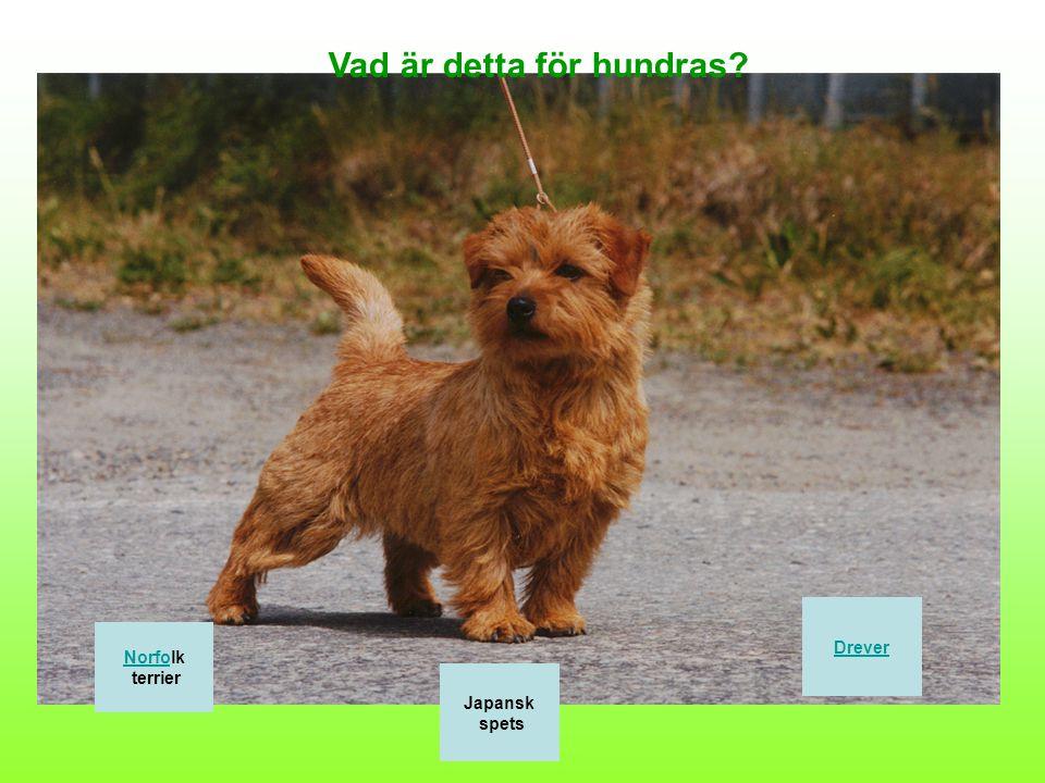 Vilken bild visar hundrasen Golden Retriever