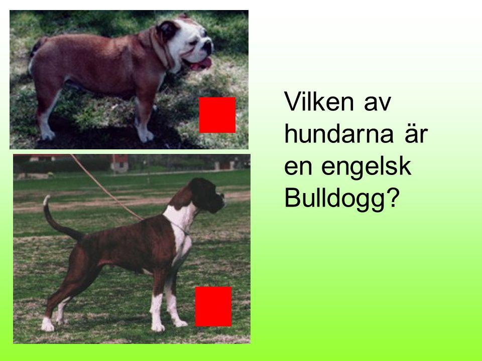 Komondor Griffon belge Lapsk vallhund Vet du vad jag är för ras