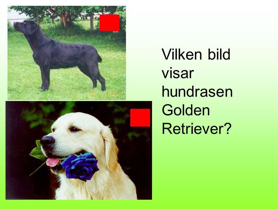 Vilken bild visar hundrasen Leonberger