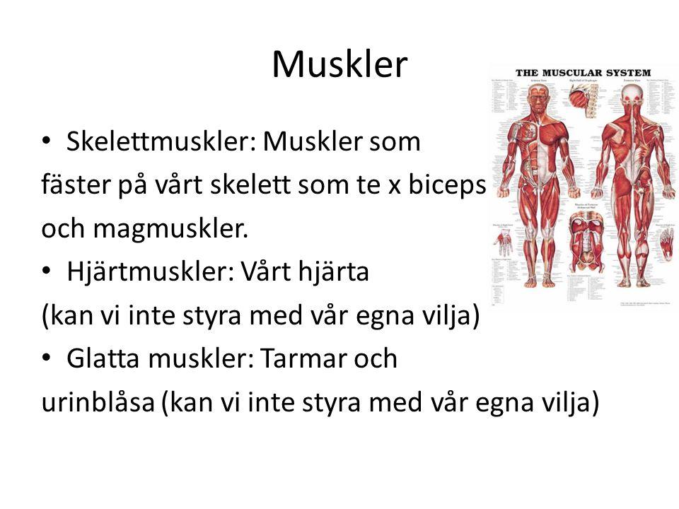 Muskler Skelettmuskler: Muskler som fäster på vårt skelett som te x biceps och magmuskler. Hjärtmuskler: Vårt hjärta (kan vi inte styra med vår egna v