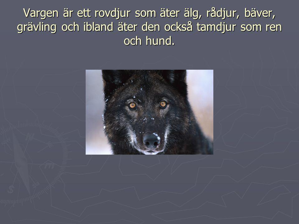 Vargen är ett rovdjur som äter älg, rådjur, bäver, grävling och ibland äter den också tamdjur som ren och hund.