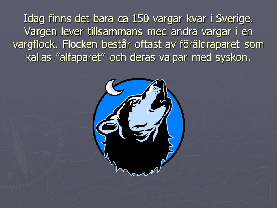 Idag finns det bara ca 150 vargar kvar i Sverige. Vargen lever tillsammans med andra vargar i en vargflock. Flocken består oftast av föräldraparet som